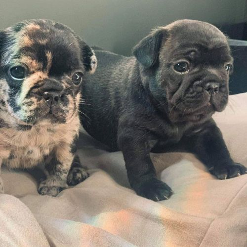 French Bulldog Puppies for sale in Rialto, CA, USA. price 800USD