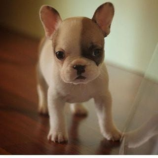French Bulldog Puppies for sale in Los Angeles Blvd, Dallas, TX 75233, USA. price 850USD