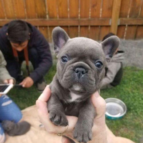 French Bulldog Puppies for sale in Atlanta, GA, USA. price 350USD