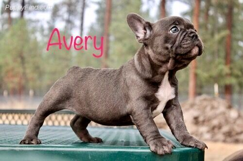 French Bulldog Puppies Sale Spokane Wa 2624 Hooblyus