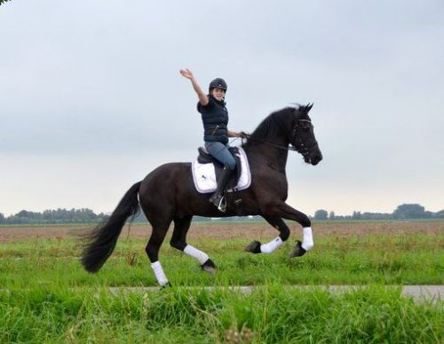 Friesian Horse Horses for sale in Fresno, CA, USA. price 5000USD