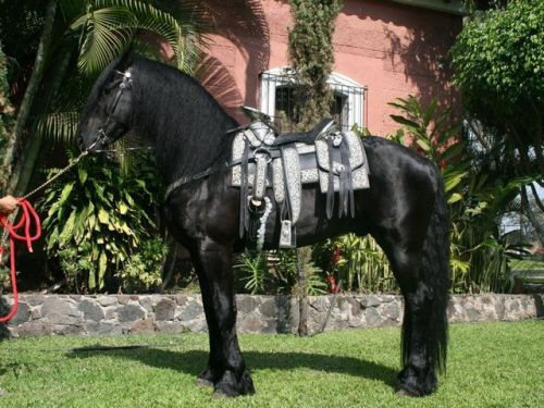 Friesian Horse Horses for sale in Jacksonville, FL, USA. price 2000USD