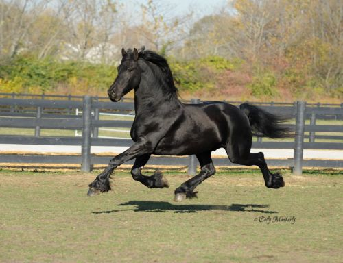 Friesian Horse Horses for sale in Minnesota St, San Francisco, CA, USA. price 2500USD
