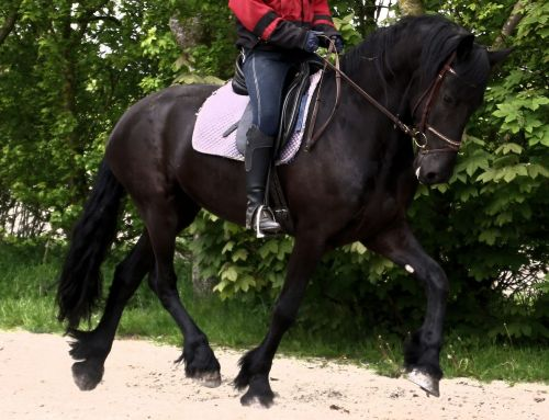 Friesian Horse Horses for sale in Boston Ave, Medford, MA 02155, USA. price 5000USD