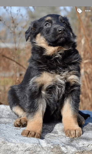 German Shepherd Puppies for sale in Peru, ME 04290, USA. price 1700USD