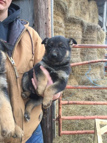 German Shepherd Puppies for sale in Deer, AR, USA. price 550USD