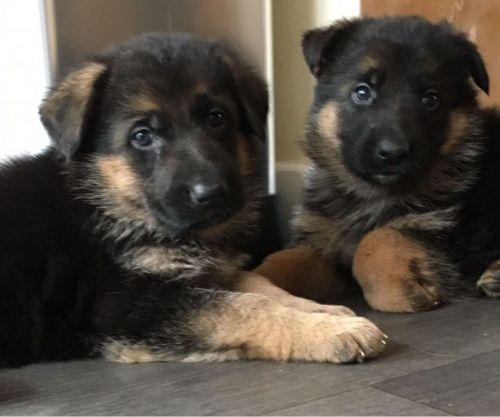 Havanese Puppies Sale Charleston Sc 4991 Hooblyus