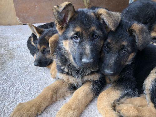 German Shepherd Sale California   Hoobly US