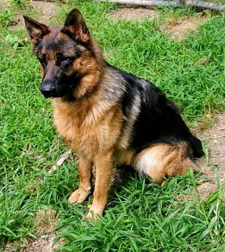 German Shepherd Puppies for sale in Dover, DE 19904, USA. price 1500USD