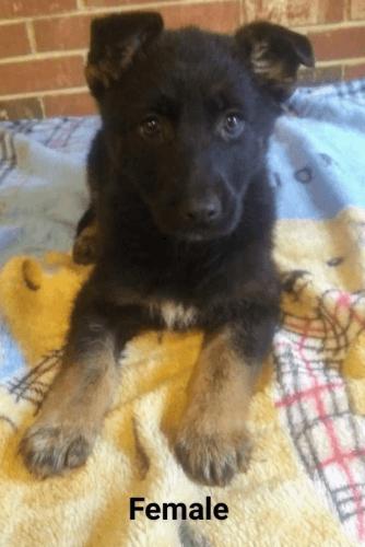 German Shepherd Puppies Sale | Hickory, NC #1602 | Hoobly US