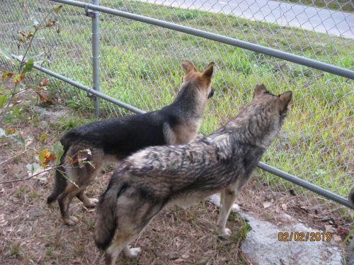 German Shepherd Puppies Sale | Palmdale, CA #1136