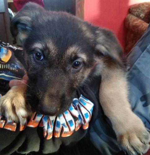German Shepherd Puppies for sale in Kinbrae, MN 56131, USA. price 650USD