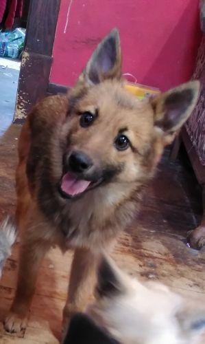 German Shepherd Puppies for sale in Kinbrae, MN 56131, USA. price 500USD