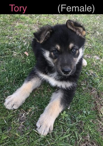 German Shepherd Puppies for sale in Ardmore, OK 73401, USA. price 400USD