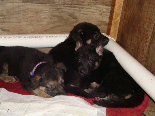 German Shepherd Puppies for sale in 400 Allen Rd, Chillicothe, OH 45601, USA. price 250USD