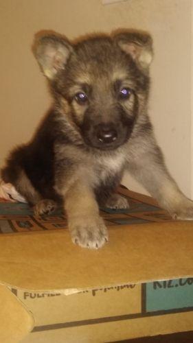 German Shepherd Puppies for sale in Memphis, TN, USA. price 250USD