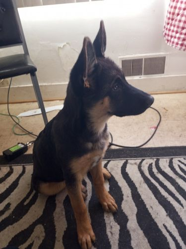 German Shepherd Puppies for sale in Inkster, MI 48141, USA. price 600USD