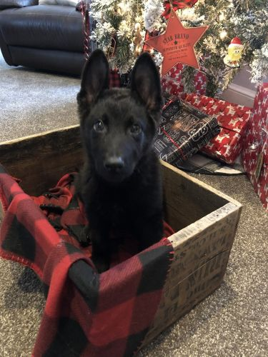 German Shepherd Puppies for sale in London, OH 43140, USA. price 650USD