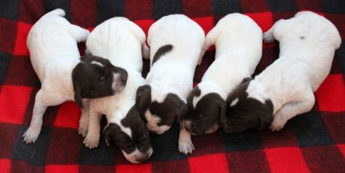 German Shorthaired Pointer Puppies for sale in Gladwin, MI 48624, USA. price 650USD