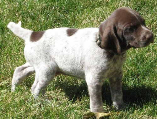 German Shorthaired Pointer Puppies for sale in Seattle, WA, USA. price 300USD