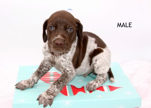German Shorthaired Pointer Puppies for sale in Big Rapids, MI 49307, USA. price 800USD