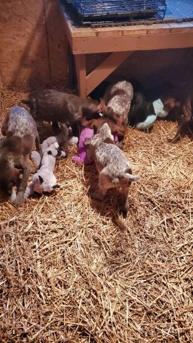 German Shorthaired Pointer Puppies for sale in Frazee, MN 56544, USA. price 300USD