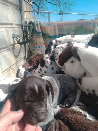 German Shorthaired Pointer Puppies for sale in Baltimore, MD, USA. price 1000USD