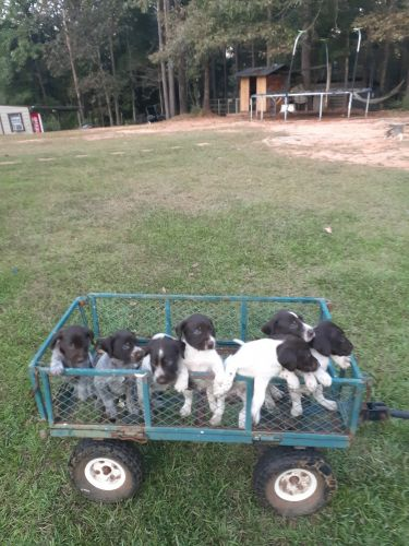 German Wirehaired Pointer Puppies for sale in Silas, AL 36919, USA. price 800USD
