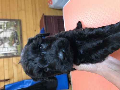 Giant Schnauzer Puppies for sale in Mitchell, IN 47446, USA. price 1200USD