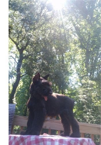 Giant Schnauzer Puppies for sale in Seattle, WA, USA. price 300USD