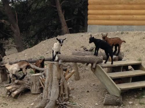 Goat Animals for sale in Salida, CO 81201, USA. price 250USD