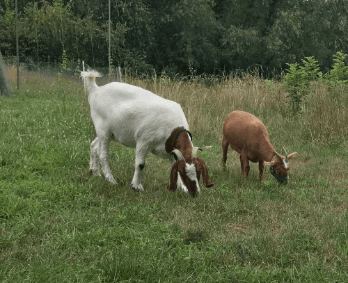 Goat Animals for sale in La Porte, IN 46350, USA. price 75USD