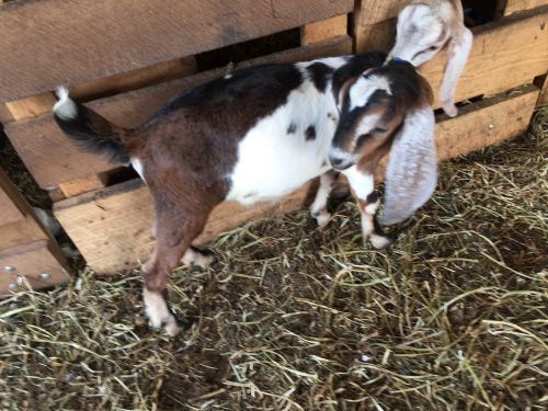 Goat Animals for sale in Cloverdale, OH 45827, USA. price 150USD