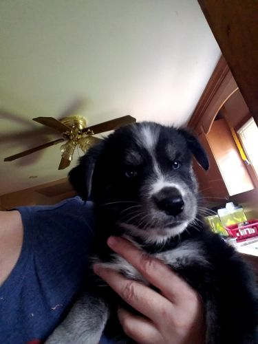 Goldador Puppies for sale in Middletown, NJ, USA. price 600USD