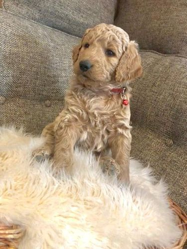 Golden Doodle Puppies for sale in Gillette St, Sheridan, WY 82801, USA. price 1000USD