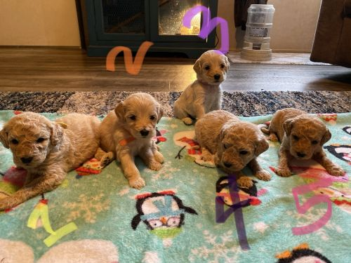 Golden Doodle Puppies for sale in Canton, NC 28716, USA. price 950USD