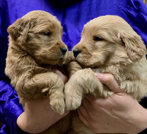 Golden Doodle Puppies for sale in Harrisonburg, VA, USA. price 1000USD