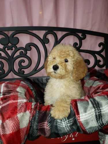 Golden Doodle Puppies for sale in Millington, MI 48746, USA. price 950USD