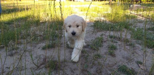 Golden Doodle Puppies for sale in Live Oak, FL, USA. price 1800USD