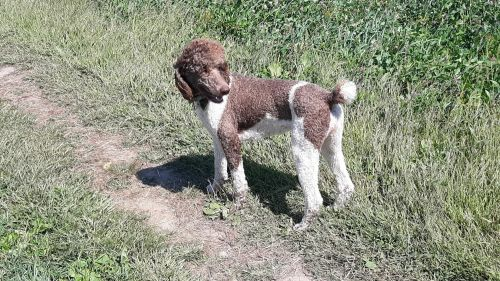 Golden Doodle Puppies for sale in Saranac, MI 48881, USA. price 1100USD