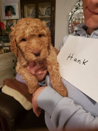 Golden Doodle Puppies for sale in Midland, MI, USA. price 1800USD