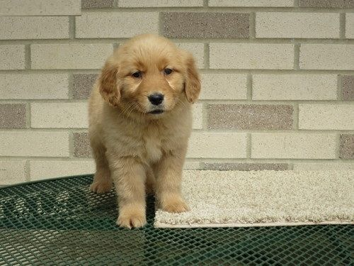 golden retriever puppies for sale in kentucky golden retriever sale barren county hoobly us 5173