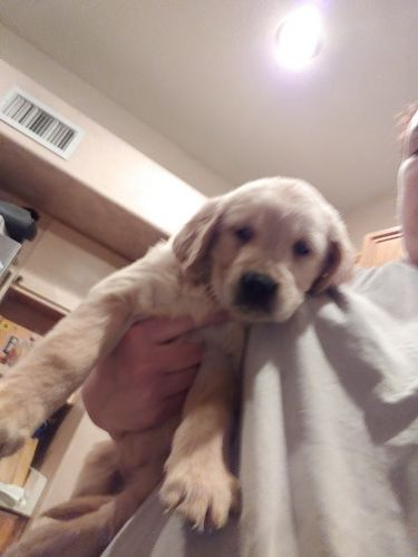 Golden Retriever Puppies Sale Los Angeles Ca 2672