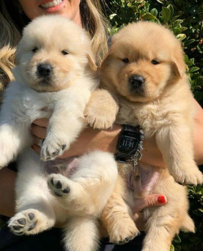 Golden Retriever Puppies for sale in Hartford, CT 06104, USA. price 600USD