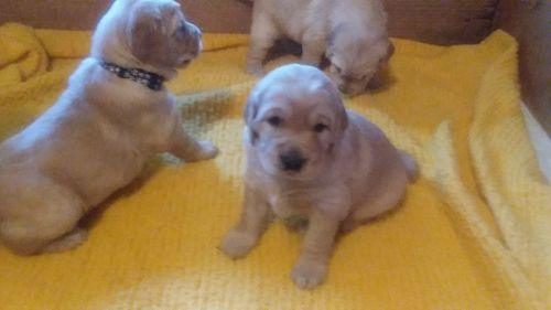 Golden Retriever Puppies for sale in Athol, MA, USA. price 1200USD