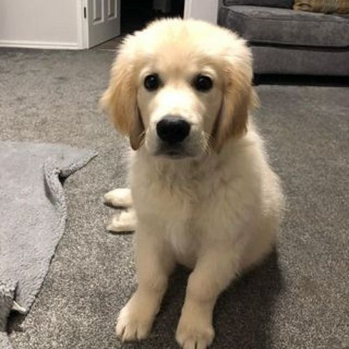 Golden Retriever Puppies for sale in Greenville, SC, USA. price 850USD