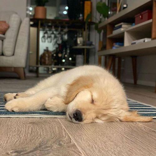 Golden Retriever Puppies for sale in Atlanta, GA, USA. price 750USD