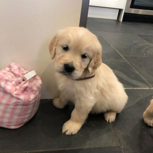 Golden Retriever Puppies for sale in Greenville, SC, USA. price 750USD