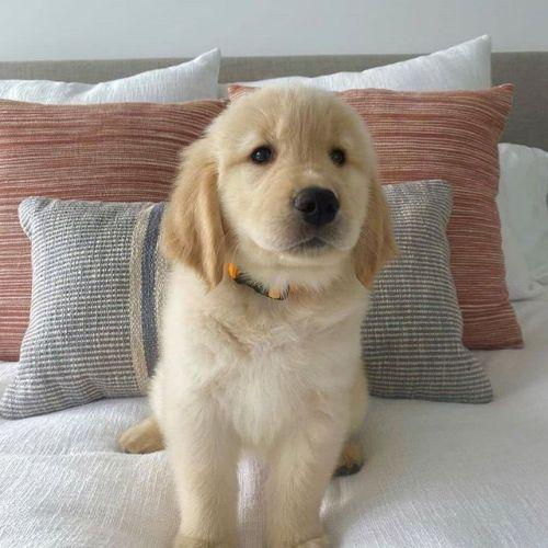 Golden Retriever Puppies for sale in Atlanta, GA, USA. price 900USD