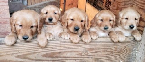 Golden Retriever Puppies for sale in Ellis Grove, IL 62241, USA. price 800USD